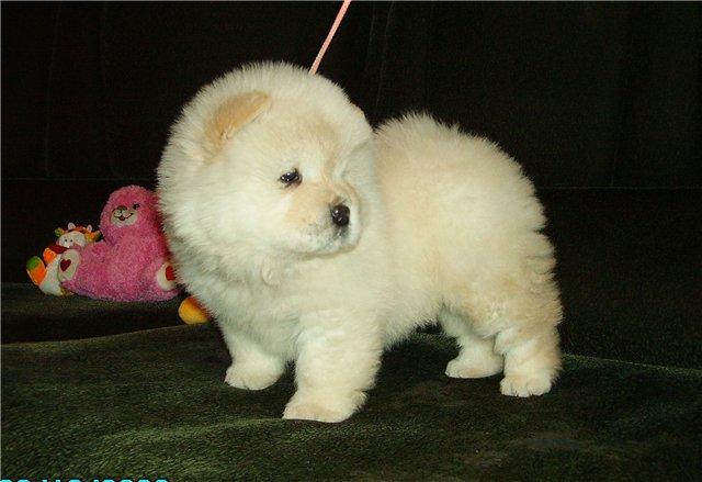 beyaz chowchow çin aslanı