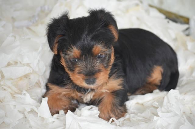 yavru yorkshire terrier