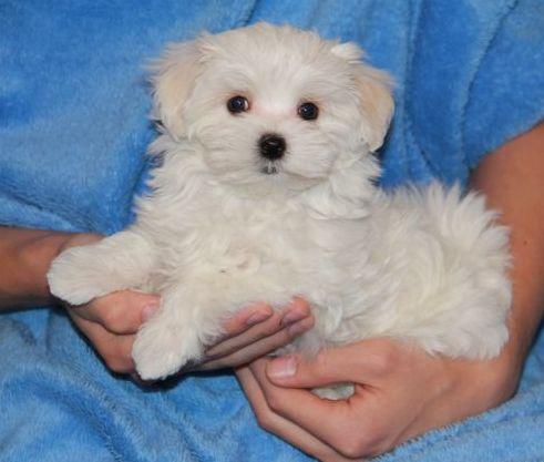 Safkan Maltese Terrier Yavruları
