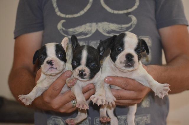 fransız bulldog yavruları