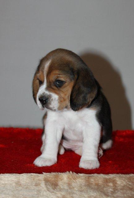 beagle-9