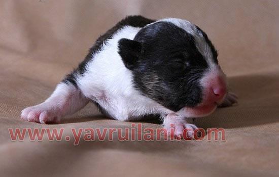 Safkan Bull Terrier