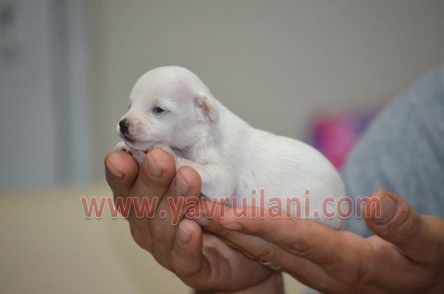 Satılık Chihuahua fiyatları yavrusu resmi