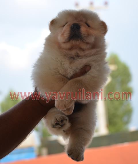 Beyaz Chow chow  - çin aslanı
