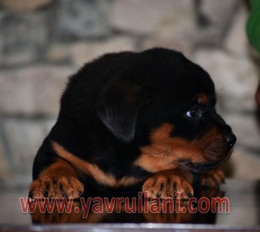 satılık yavru rottweiler