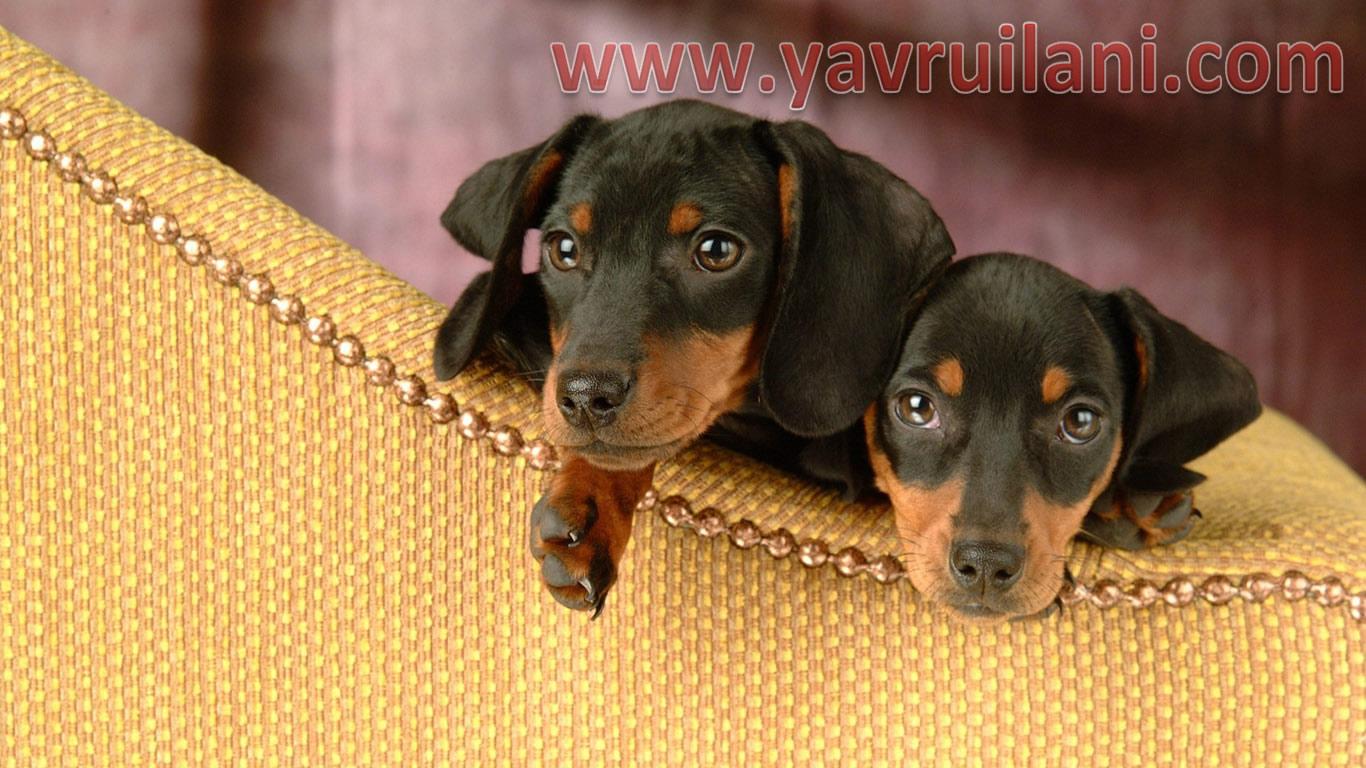 dachshund-sosis-yavruları