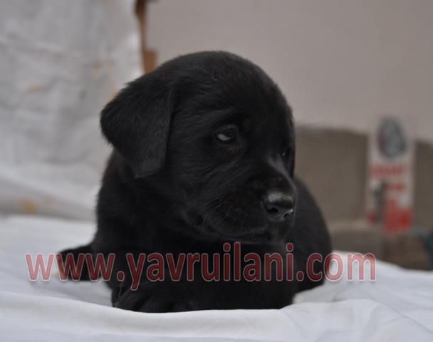 Siyah Labrador Retriever