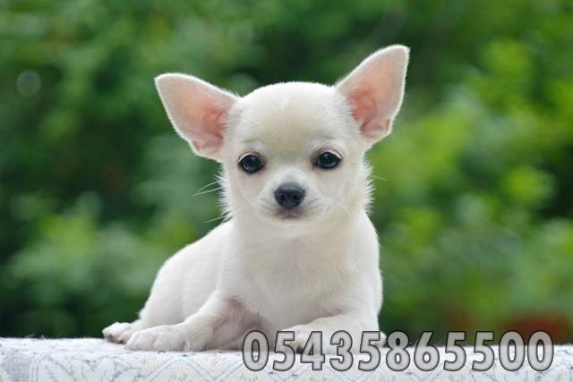 Satılık Chihuahua Yavruları