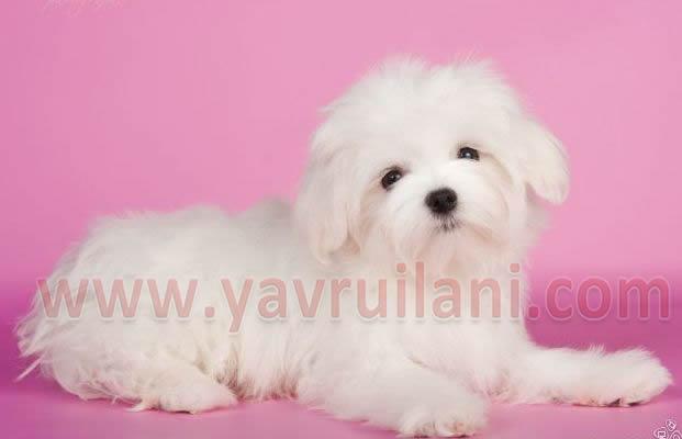 Antalya Satılık maltese terrier