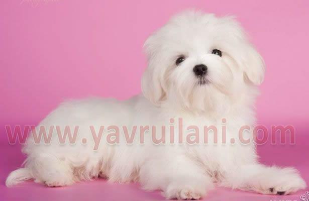 İzmir Satılık Maltese Terrier