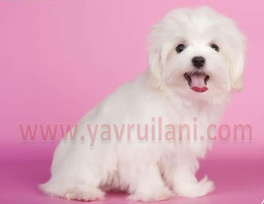 Ankara Satılık maltese terrier