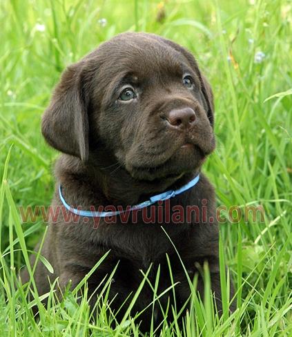 Ankara Satılık Labrador Retriever