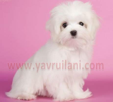 İstanbul Satılık Maltese Terrier