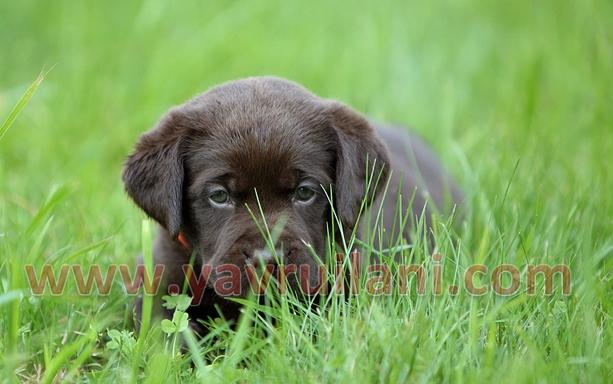 İzmir Satılık Labrador Retriever