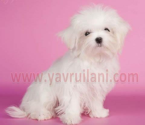 Satılık Maltese Terrier