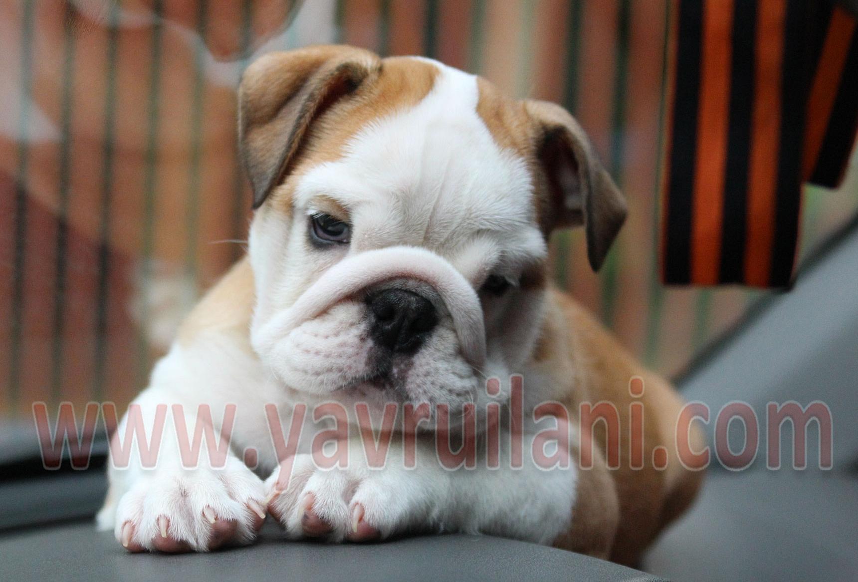 Ankara Satılık ingiliz bulldog yavruları