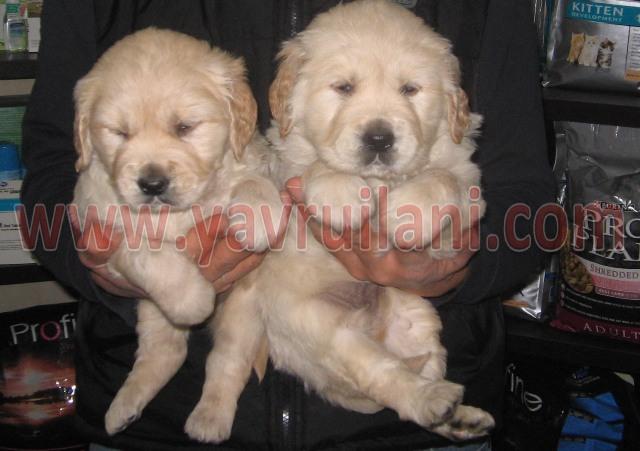 İstanbuldan Satılık Golden Yavruları