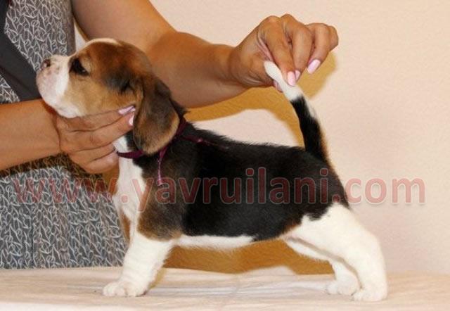 Ankara satılık elizabeth beagle
