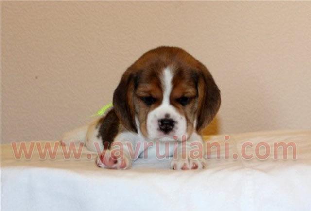 izmir satılık elizabeth beagle