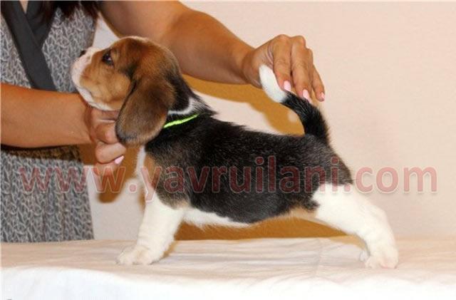 istanbul satılık elizabeth beagle