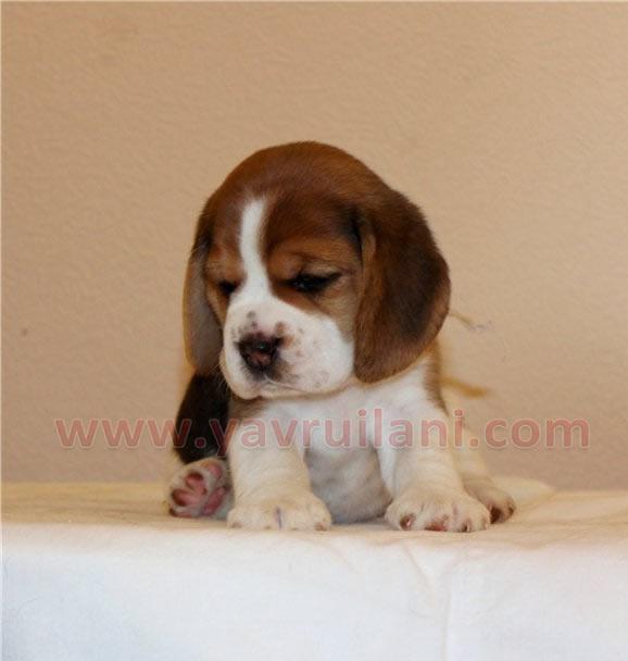 satılık beagle yavruları bursa