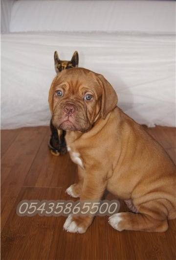 bordeux mastiff