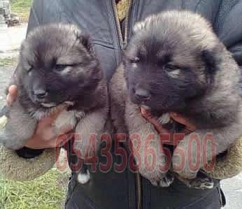 kars çoban köpeği fiyatları