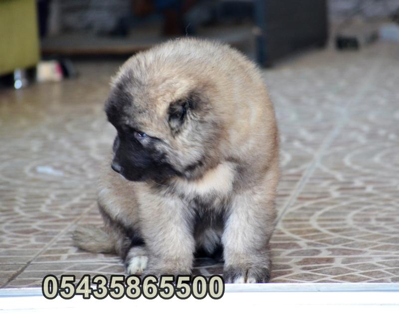 satılık kafkas çoban yavrulari