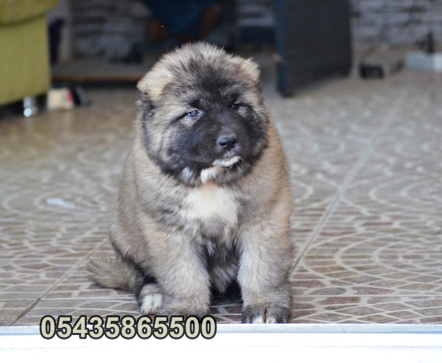 satılık kars çoban köpeği yavruları