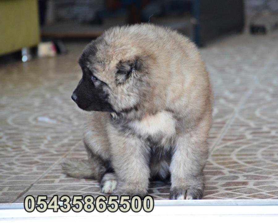 satılık kars çoban köpeği