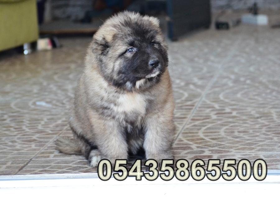 satılık yavru kafkas çoban köpeği