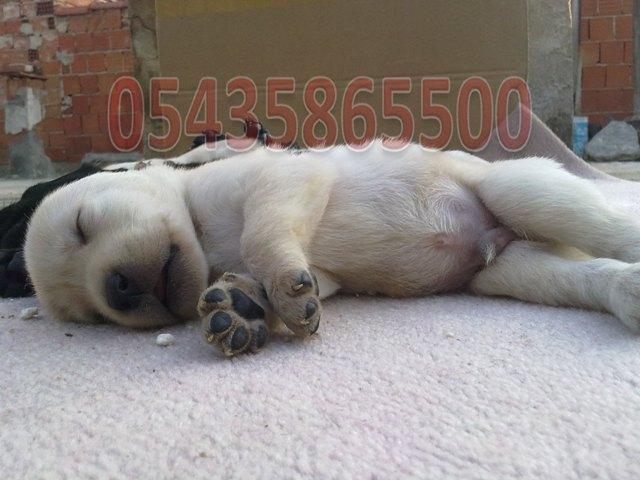 Labrador Yavru İlanı