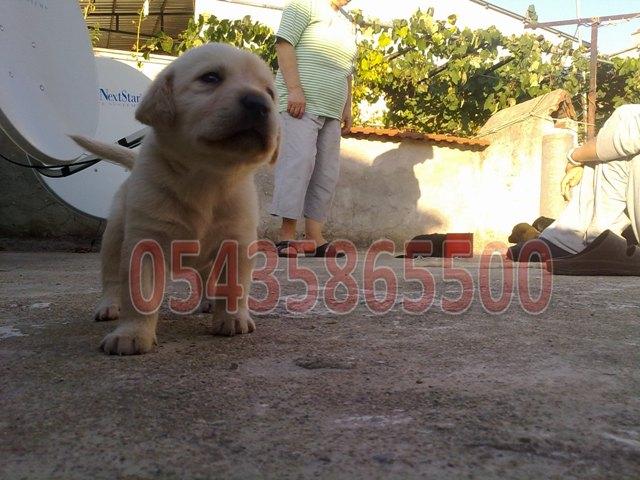 Labrador satılık