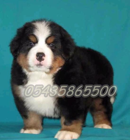 Satılık Yavru Mountain Dog
