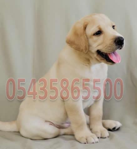 Sarı Labrador Yavru