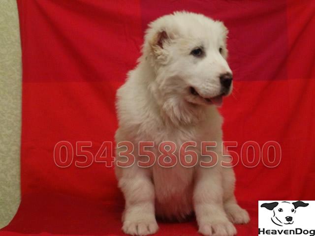 alabay köpekleri