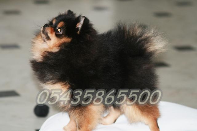 Satılık Yavru Pomeranian boo