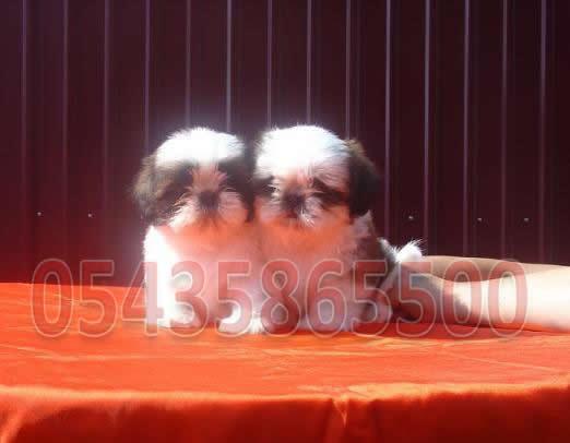 satılık Shih Tzu Yavruları