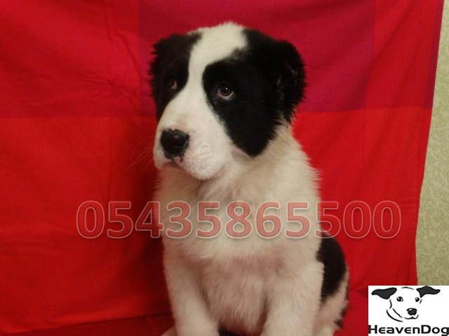 Bursa Satılık Alabay Çoban Köpeği