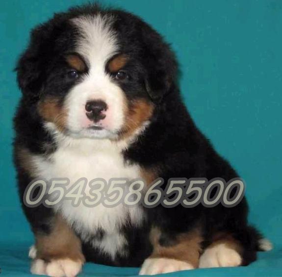 Bursa Satılık Mountain Dog Yavruları