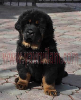Bursa Satılık tibet mastifi yavrular