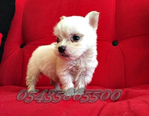 Satılık beyaz white terrier