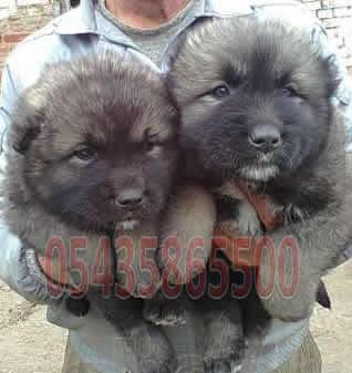 Bursa Satılık Kafkas Çoban Köpeği