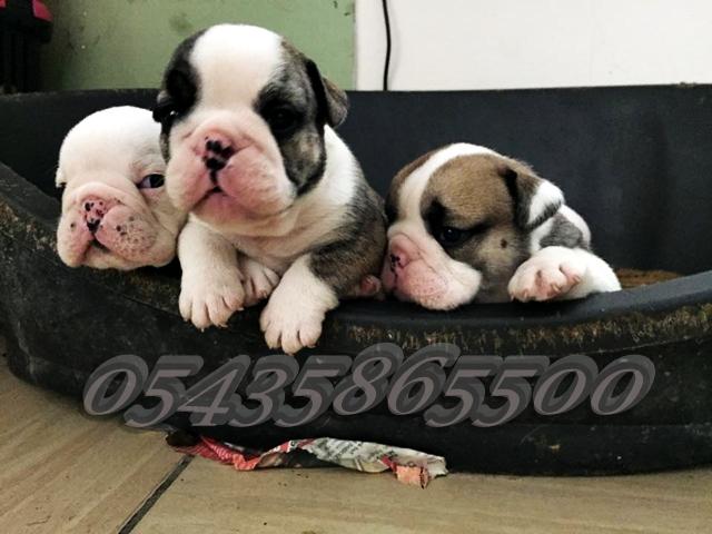 bursa satılık ingiliz bulldog yavruları