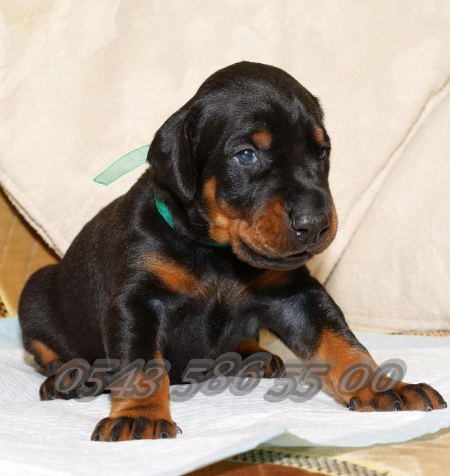 yavru king doberman