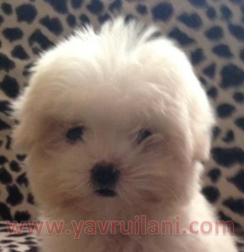 Satılık yavru maltese Terrier