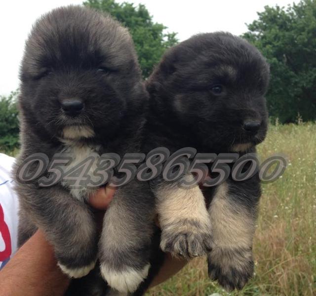 Kafkas Çoban Köpeği Yavruları