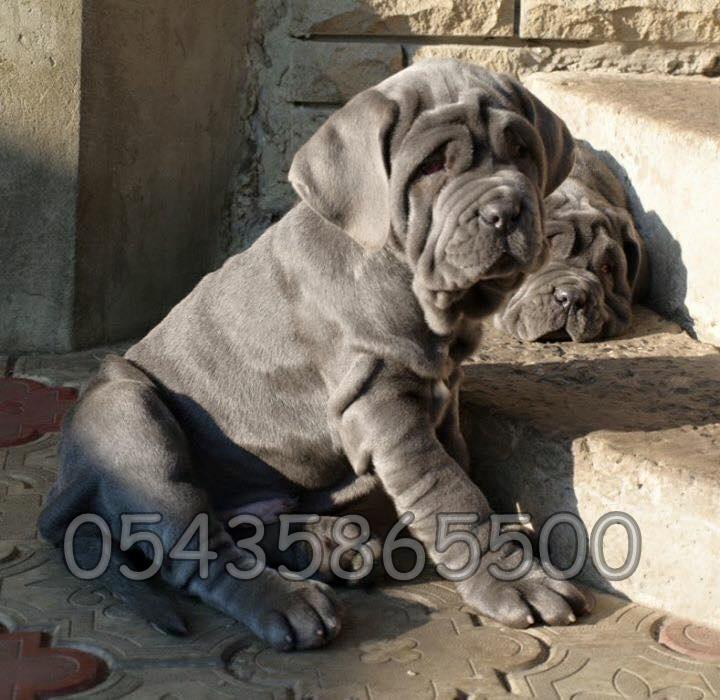Satılık Napolitan Mastiff