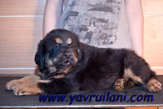 safkan tibetan mastiff