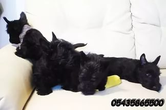 İskoç Scottish Terrier